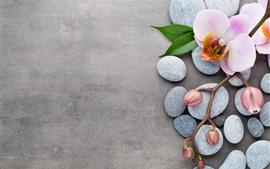 Phalaenopsis rosa, pétalas, flores, pedras, folhas verdes