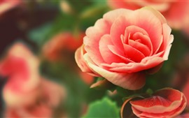 Rosa rosa, pétalas, orvalho, flores close-up