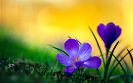 Azafrañas púrpuras macro fotografía, pétalos, hierba, nebuloso