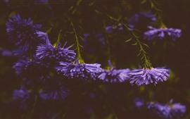 Aperçu fond d'écran Fleurs violettes, gouttelettes d'eau, brumeux
