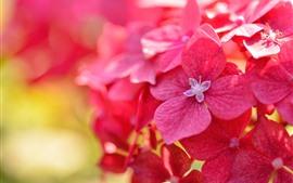 壁紙のプレビュー 赤いアジサイの花のクローズアップ、花びら