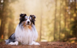 Preview wallpaper Sheepdog, dog, front view, hazy