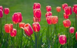 Flores da primavera, tulipas vermelhas, fundo verde