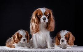 Preview wallpaper Three puppies, dog, black background