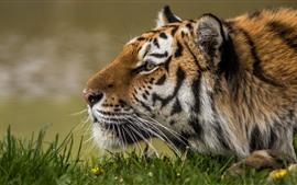 Vorschau des Hintergrundbilder Tiger, Gesicht, Seitenansicht, Wildtiere, Gras