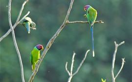 壁紙のプレビュー 木、2つのグリーンオウム、小枝、鳥