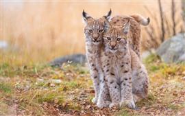 Preview wallpaper Two lynx, wildcat