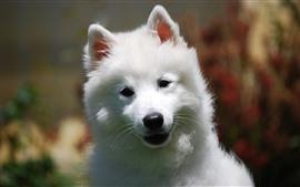 壁紙のプレビュー 白い犬、見て、顔、かわいい子犬