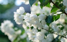 Branco, jasmim, flores, close-up, pétalas, primavera