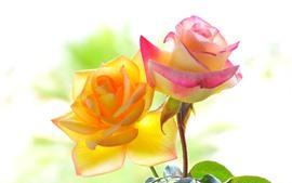 Rosas amarelas e cor-de-rosa, close-up de flor, pétalas, folhas