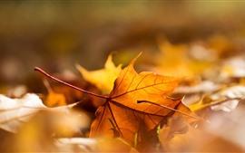 미리보기 배경 화면 노란색 단풍 나무, 헷갈리는, 가을
